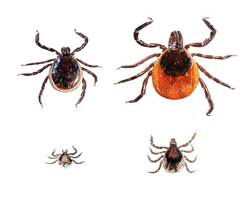 black legged deer tick